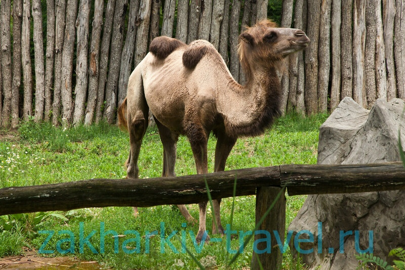 сафари парк краснодар верблюд