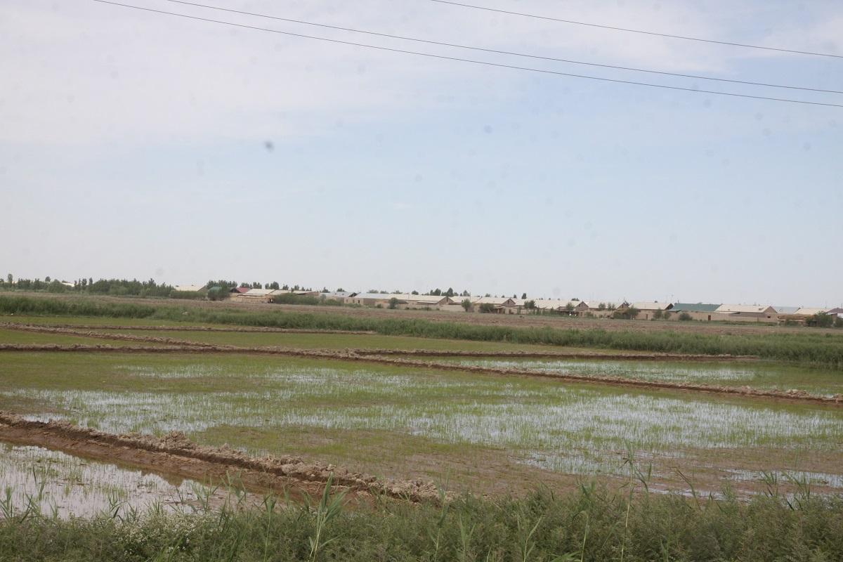 засеянные поля Узбекистана в конце мая